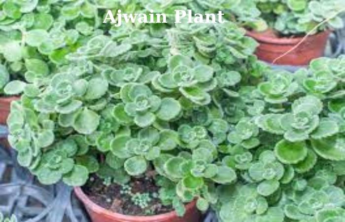 Ajwain (2)
